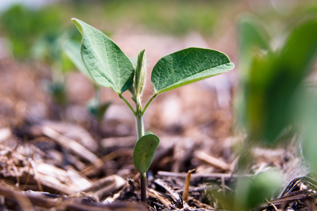 Single Soybean Plant - Early Growth