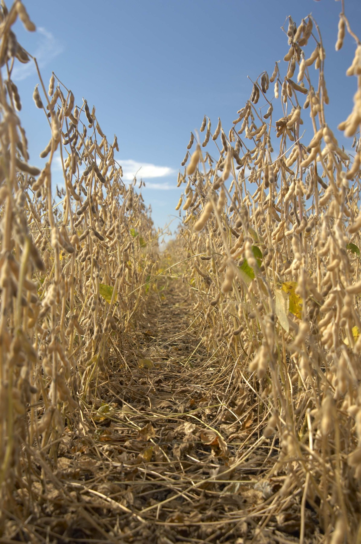 Think Narrow-rows when planting Soybeans