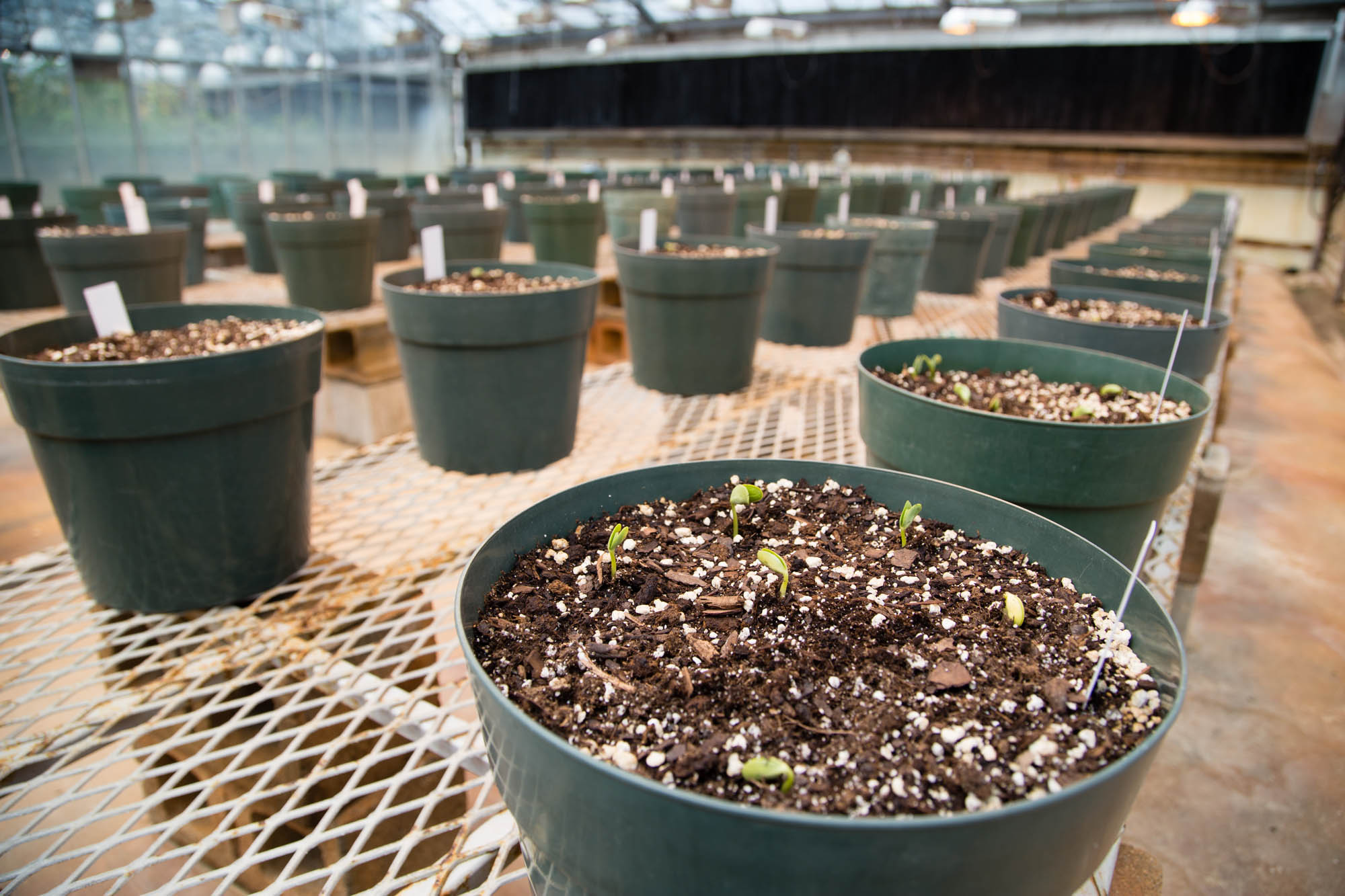 Soybean Plants in Research Lab