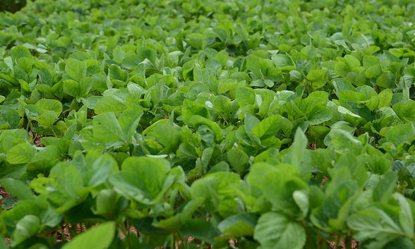 Green Soybean Plants