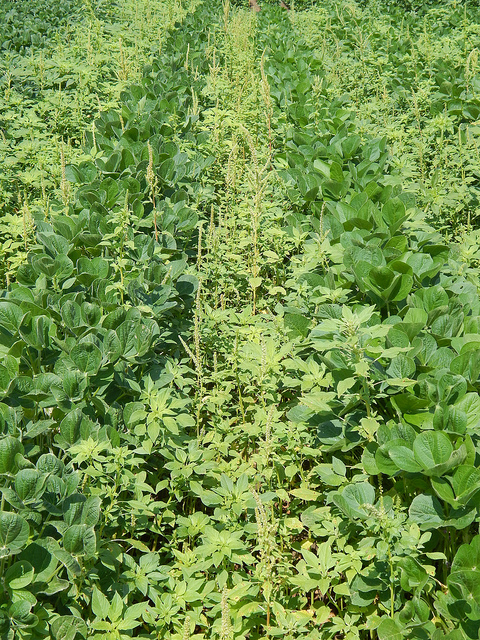 Pigweed in Field