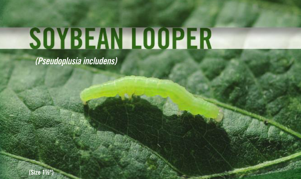 Soybean Looper Insecticide Recommendations