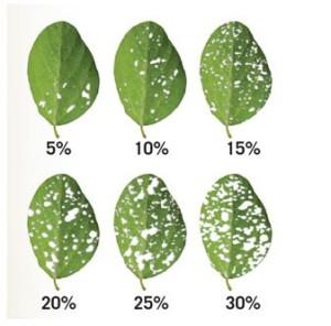 percent defoliation